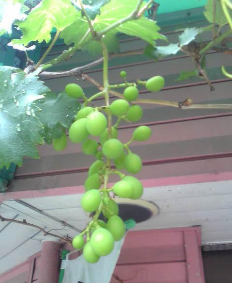 ☆店の前にある葡萄の実が大きくなってきました♪♪